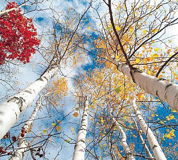 Breza - lekovito drvo Breza102