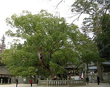 220px-Cinnamomum_camphora20050314