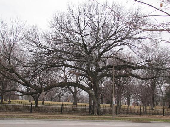 the-worlds-widest-elm-tree-matt-a-bird