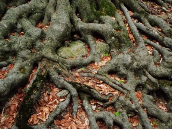 10668535-strong-roots-of-an-old-beech-tree-embracing-the-earth