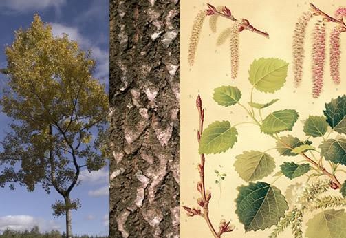 Aspen-Populus-tremula-Crann-Creatha