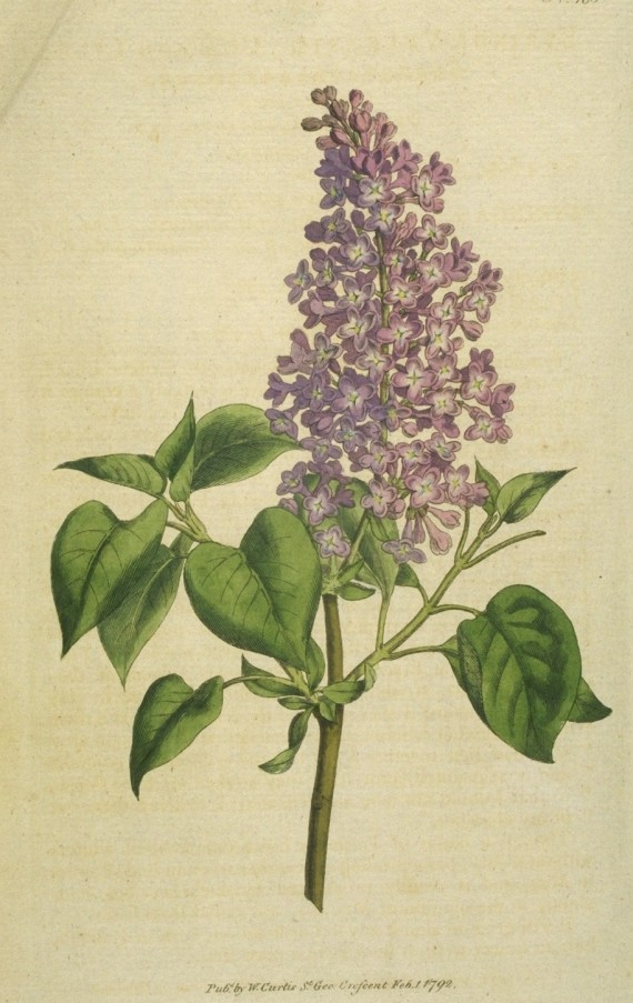 Common_Lilac