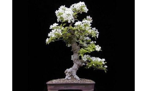 jasmine-tree-t2