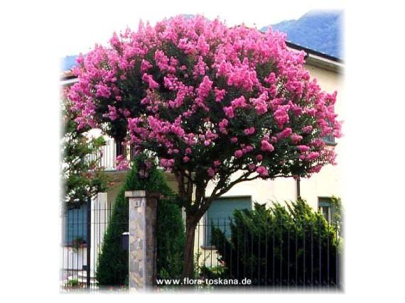 Lagerstroemia-indica-Indijska-ruza-Kineski-jorgovan-_slika_XL_1634330