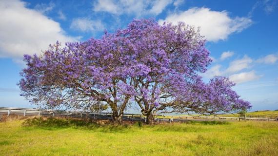 nature-hawaii-maui-flower-tree-grass-sky-clouds