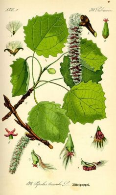 normal_thome00450-populus-tremula