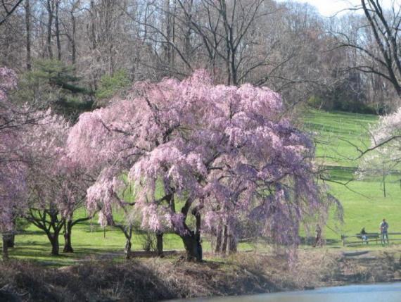 Pink_Flower_Tree_near_pond-IMG_8535_3_-760x573