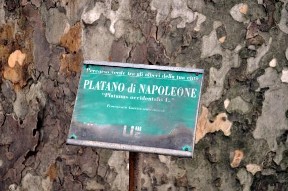 platano_2