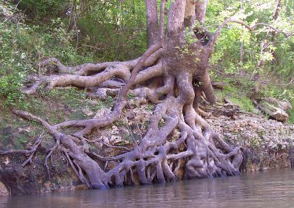 sycamore-tree-nice