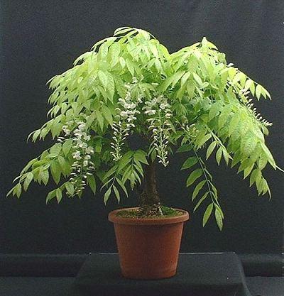 wisteria 190505 002 500