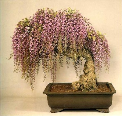wisteria-bonsai