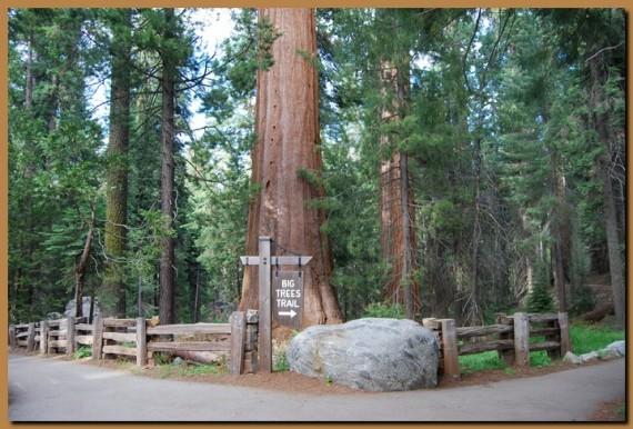 Sequoia03