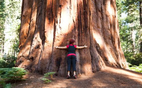 sequoia_gigante500