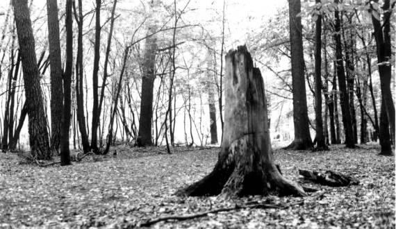 dead_tree_stump_decaying