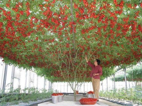 Drvo-paradajza