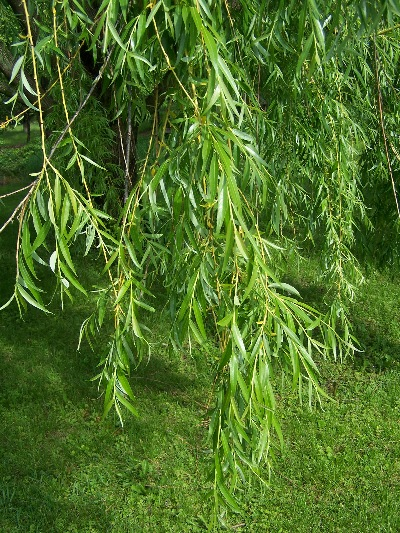 golden_weeping_willow_foliage2