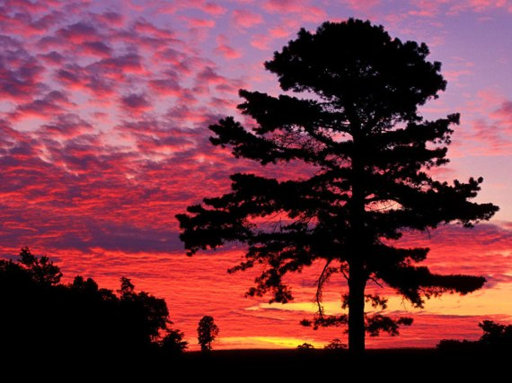 pinetreesunset