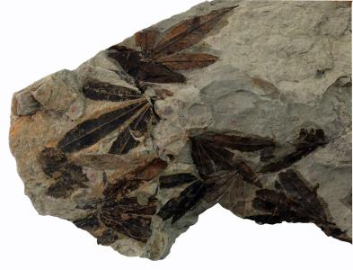 Fosilna-flora--lok-Janda-Fruska-Gora
